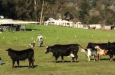 Cows and Goats Cautiously Inspecting Survey Crew