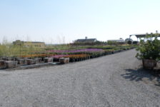 Devil Mountain Wholesale Nursery Trees and Flowers